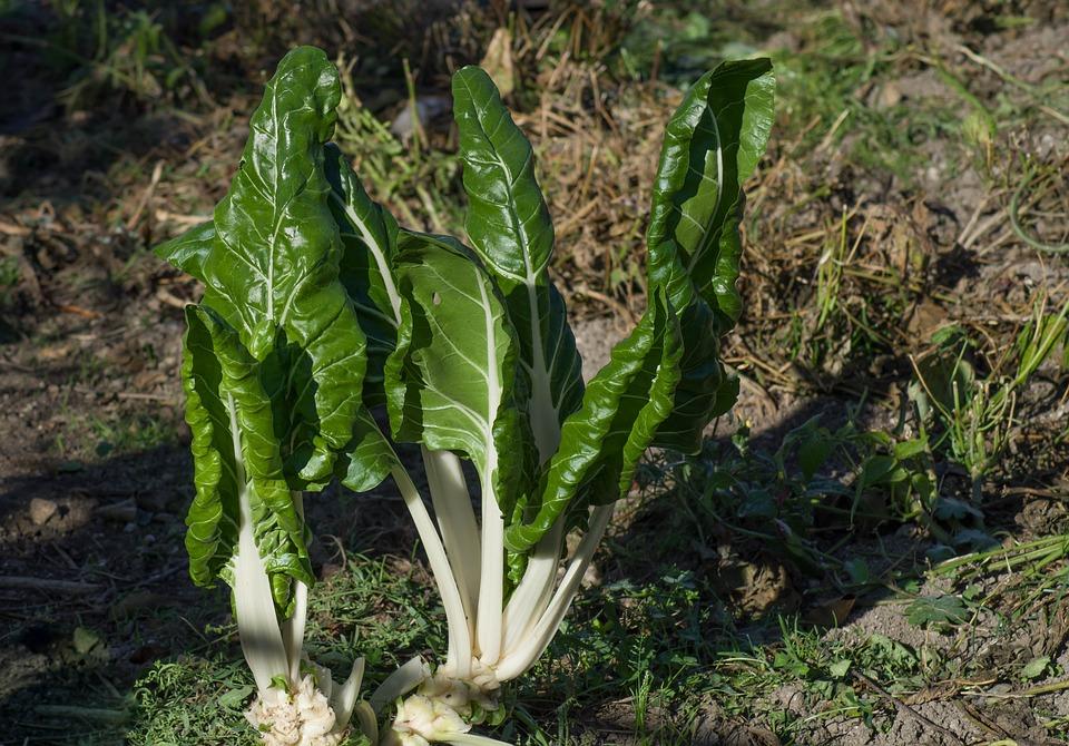 Mangold, Garten, Gemüse, Ernte, Plantation