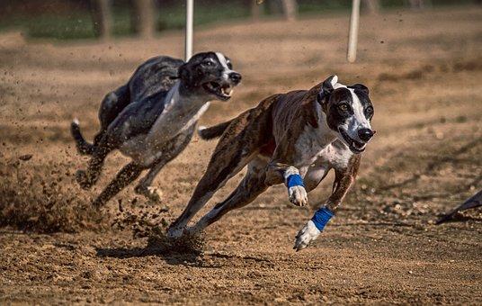 Dog, Dog Racing, Greyhounds, Race, Sport