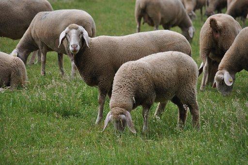 メリノ羊土地, 羊の農業, 羊