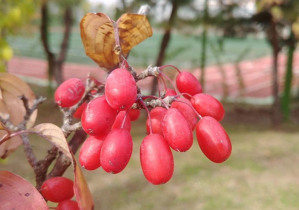 Cornus, Schisandra, Rouge, Fruits Rouges, Sejong Ville