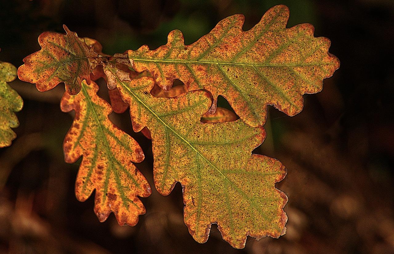 годы дубовые листья осенние фото для