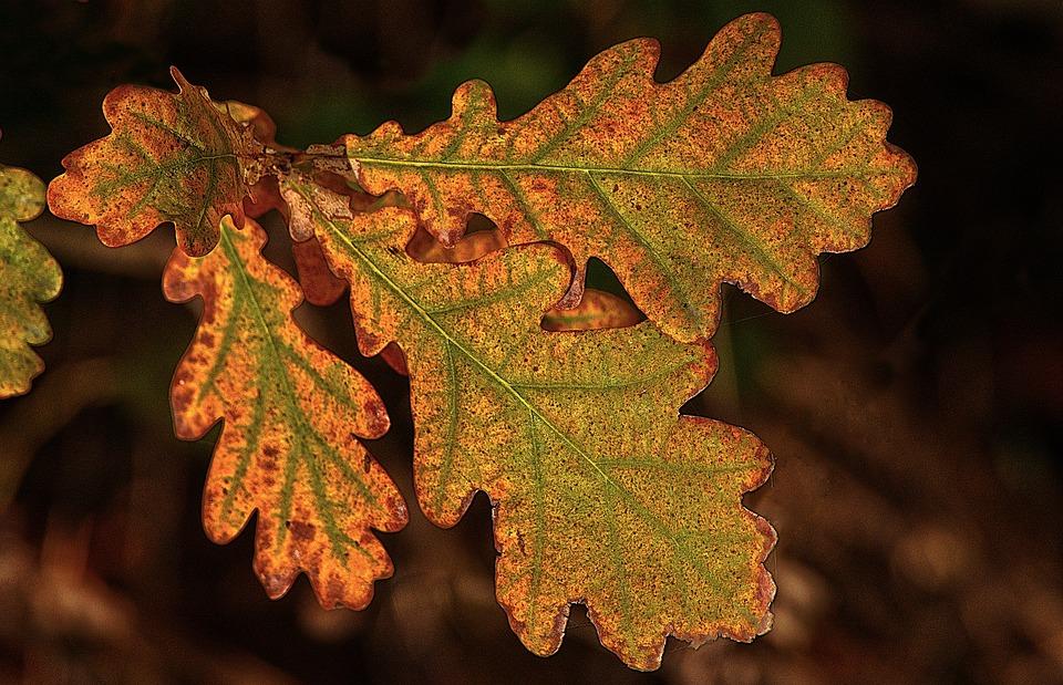 Meşe Yaprağı Sonbahar Yaprak Pixabayde ücretsiz Fotoğraf