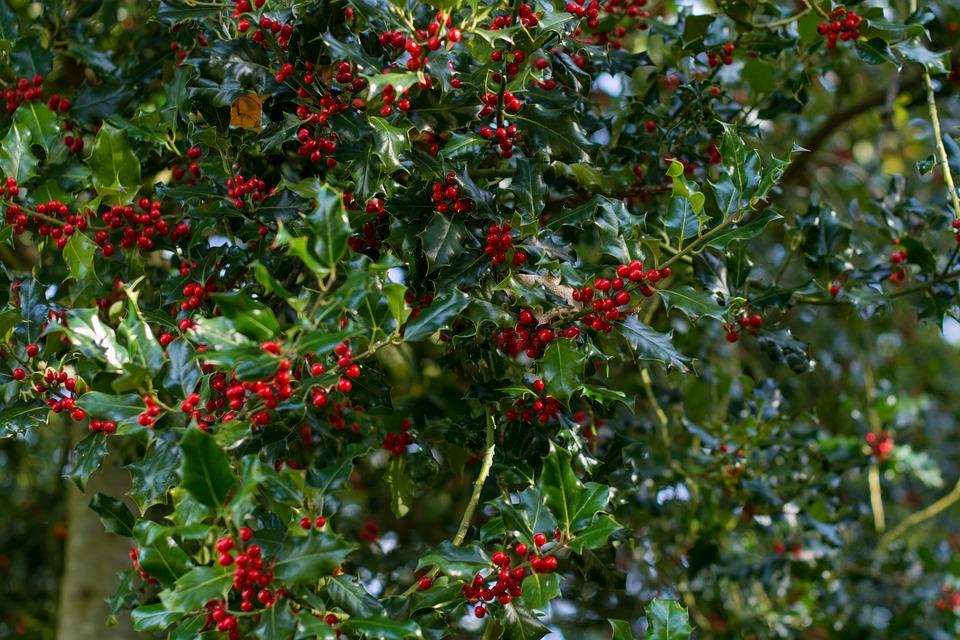 Christmas Holly Tree.Holly Tree Christmas Free Photo On Pixabay
