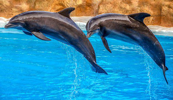 Dolphins, Animal, Nature, Dolphin Show