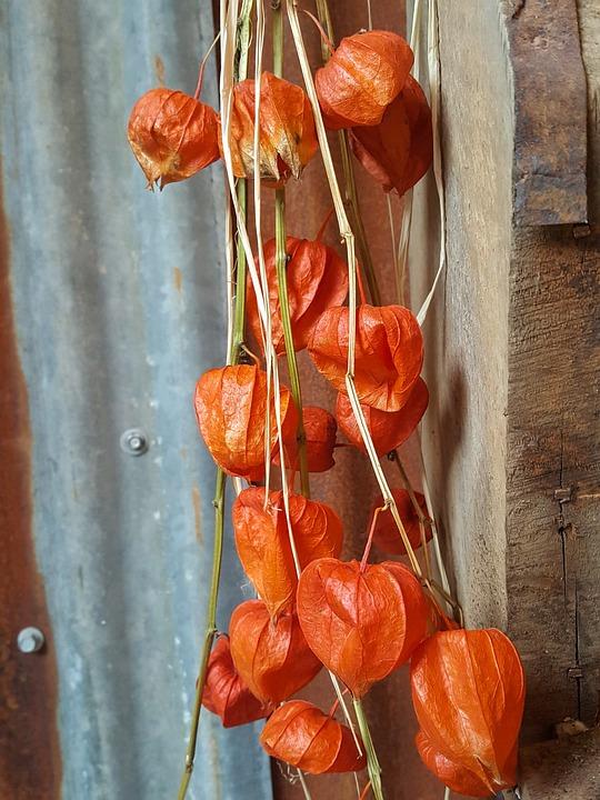 Lanterne Chinoise, Physalis Franchetii, Oranges