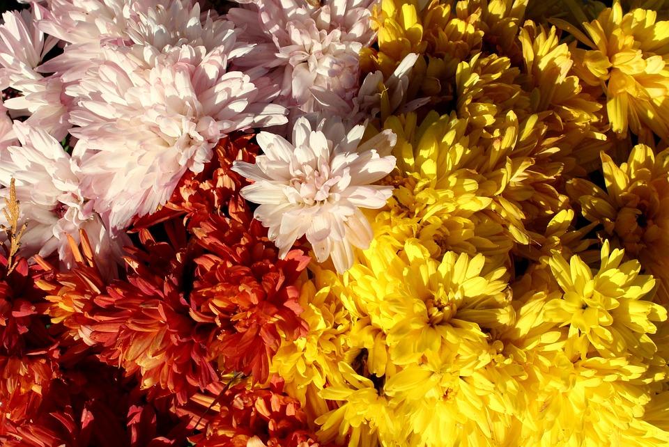 Crizantemă Colorat Flori De Toamna Fotografie Gratuită Pe