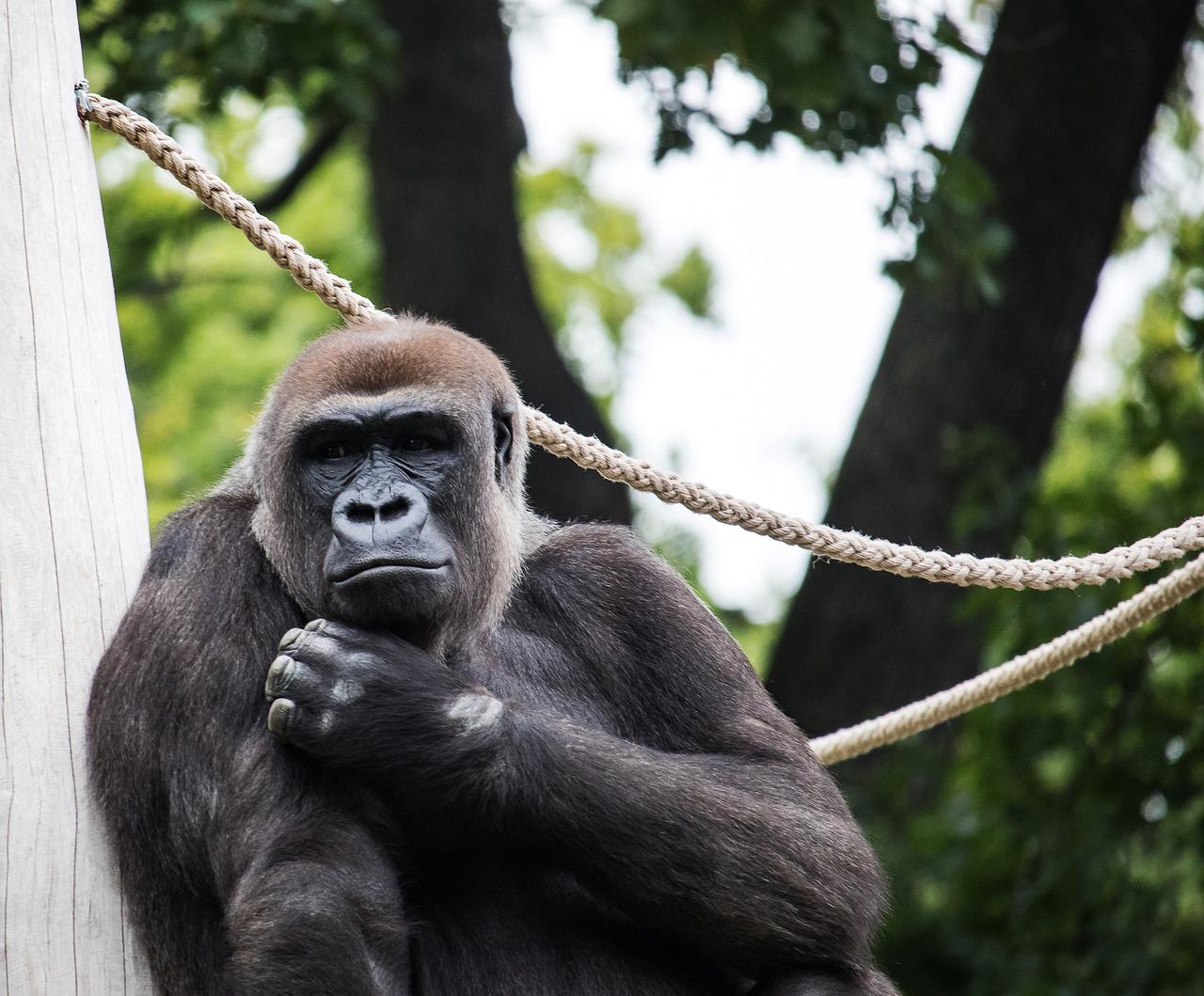картинки обезьяны горилы механизма