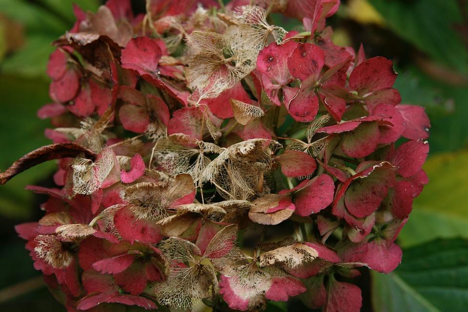Herbst Hortensie Verbluht Kostenloses Foto Auf Pixabay