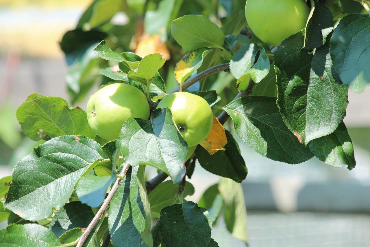 сам картинки листья яблоками отреагировал обыски своем