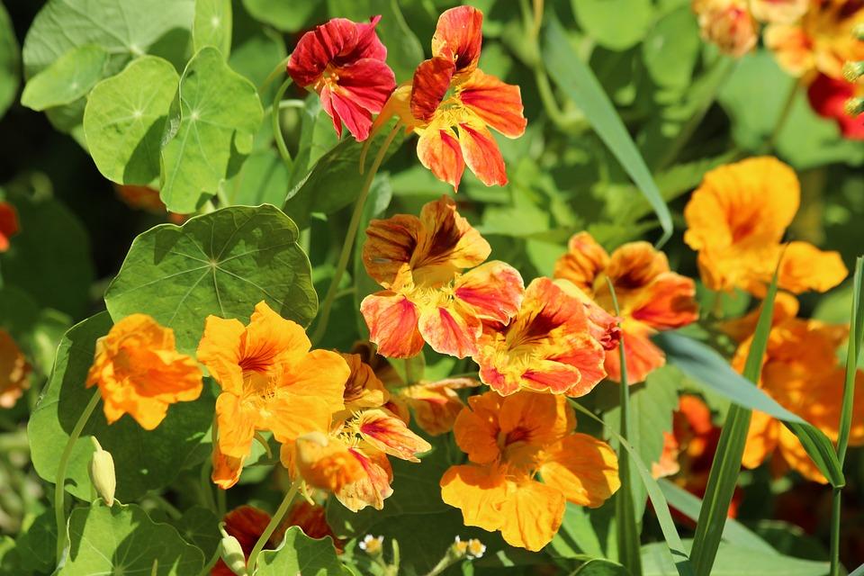 Nasturtium, Tropaeolum, Flowers, Plant, Bloom, Orange