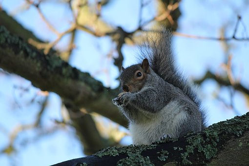 Squirrel, Animal, Wildlife