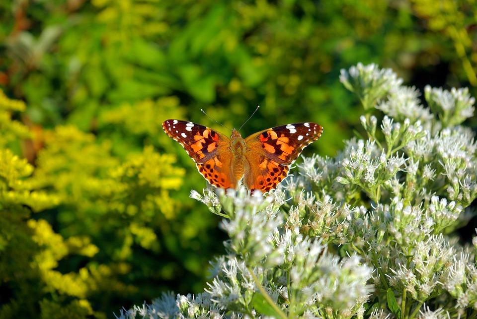 Blumen Schmetterling Pflanze Blüte Kostenloses Foto Auf Pixabay