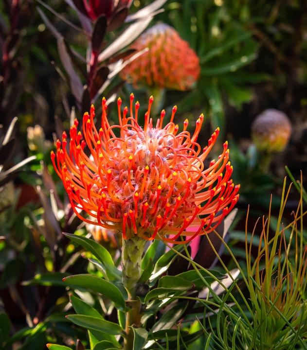 Protea Plantes Fleur Afrique Du Photo Gratuite Sur Pixabay