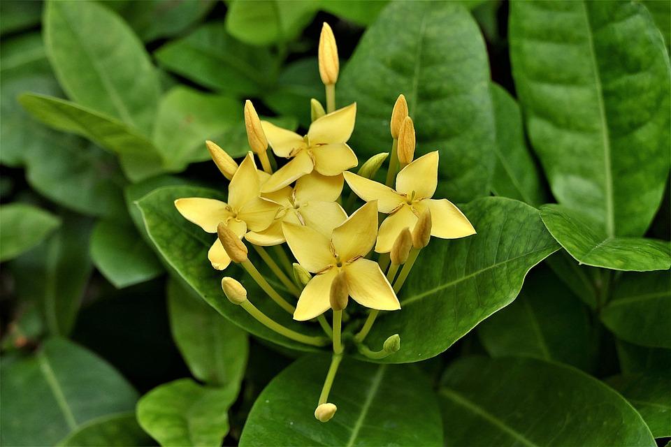 Rose, Giallo, Thailandia, Agrimonia Eupatoria
