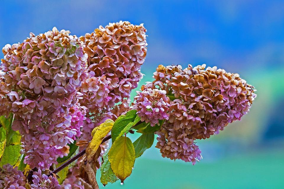 Verbluht Hortensie Rispen Kostenloses Foto Auf Pixabay