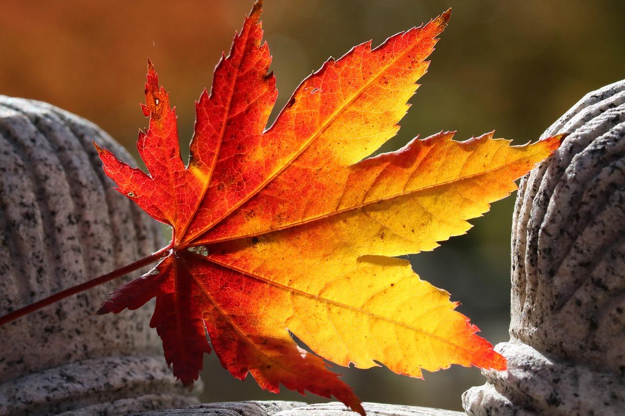 Autumn Leaves Maple The - Free photo on Pixabay
