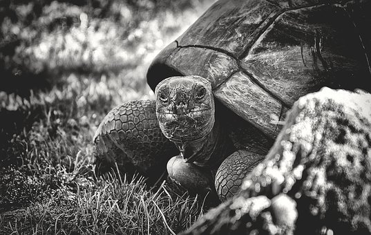 Giant Tortoise, Animal, Panzer, Reptile