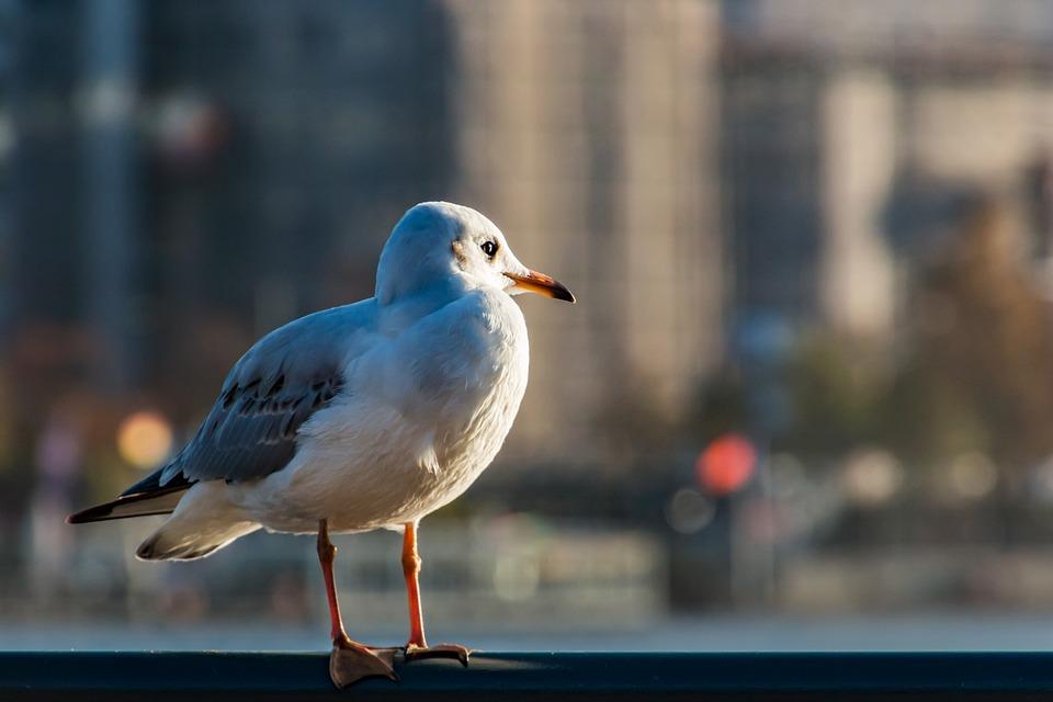 Möwe Hamburg Vogel Kostenloses Foto Auf Pixabay