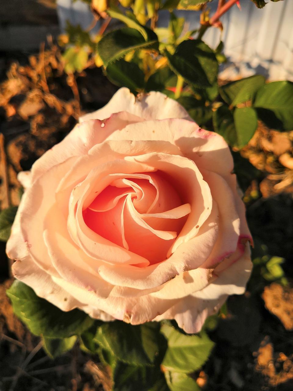 картинки кремовые бутоны роз музея