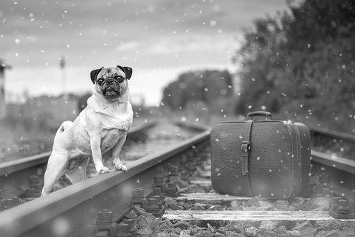 犬, パグ, ビッチ, ペット, 動物, 従順な, 面白い, かわいい, 教育