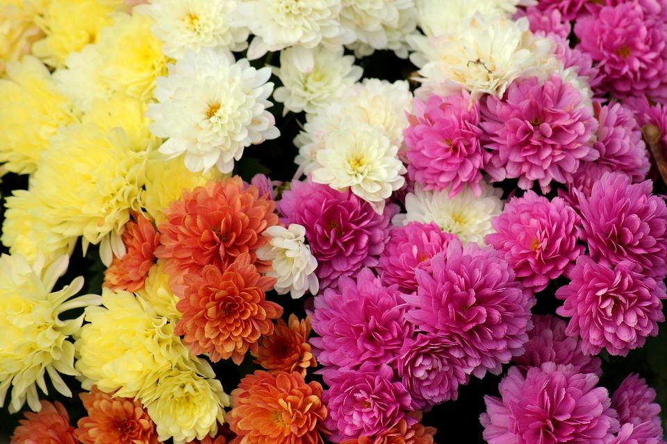 Crizantemă Flori De Toamna Colorat Fotografie Gratuită Pe