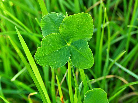 Four Leaf Clover Images Pixabay Download Free Pictures