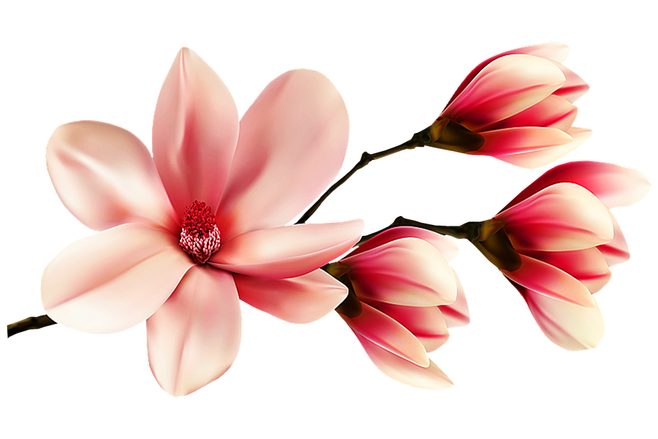 Magnolia Flower Flowers Free Image On Pixabay