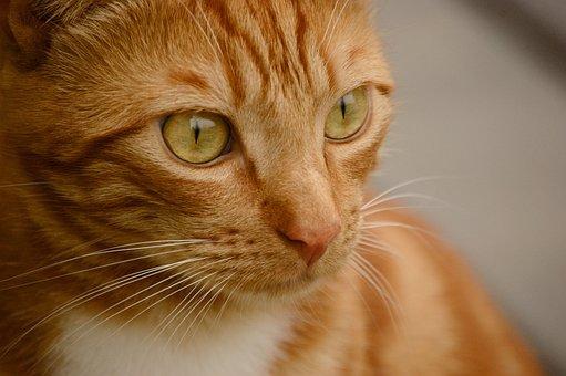 Cat, Orange, Cute, Guizmo, Timéo Sitruk