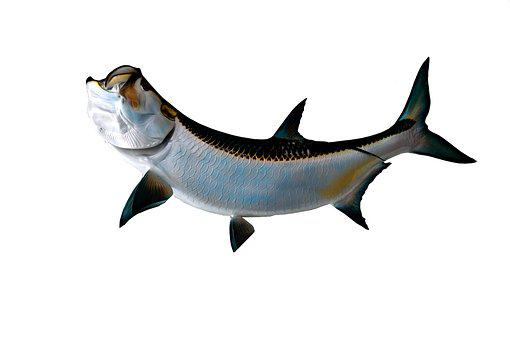 Tarpon Fish, Game Fish, Sport Fishing
