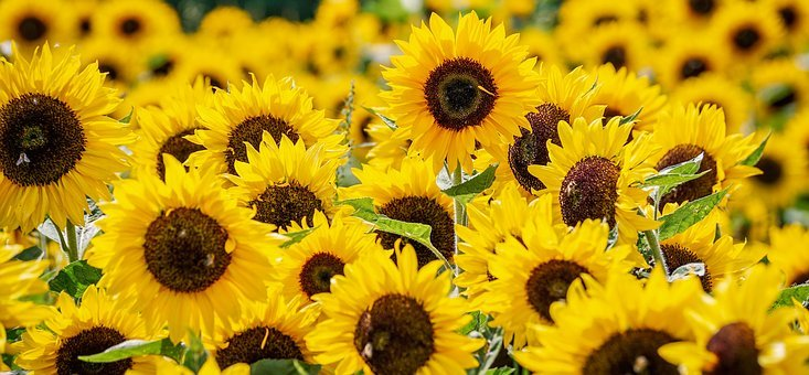 Sunflower, Flowers, Yellow, Summer