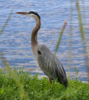 Great Blue Heron, Pond, Bird, Feathers