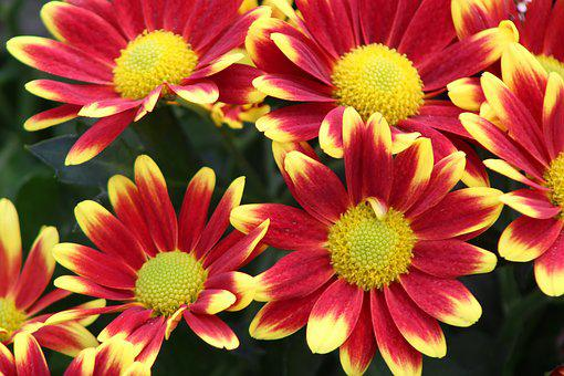 Chrysanthemum yellow images pixabay download free pictures red flower yellow chrysanthemums mightylinksfo