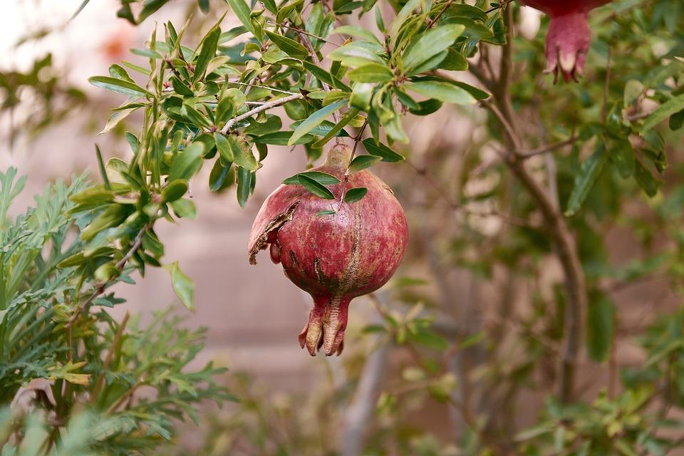 granada tree fruit free photo on pixabay
