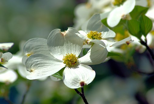 Dogwood Images Pixabay Download Free Pictures