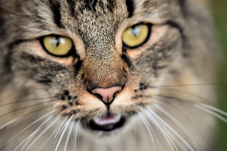 africké mačička pics chlpaté mačička sex pics