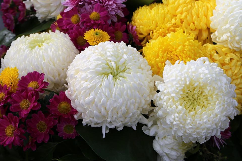 3eb52f219 Biela Žltá Fialová Chryzantéma - Fotografia zdarma na Pixabay