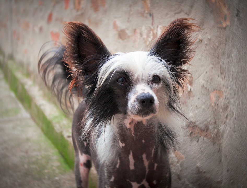 Chinese Crested Puppy, Chinese Crested Dog, Puppy