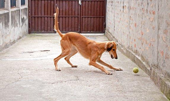 Dog Playing, Saluki, Persian Greyhound