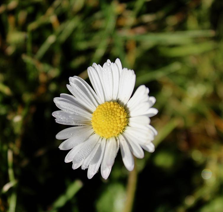 Fleur Oies Marguerite Photo Gratuite Sur Pixabay