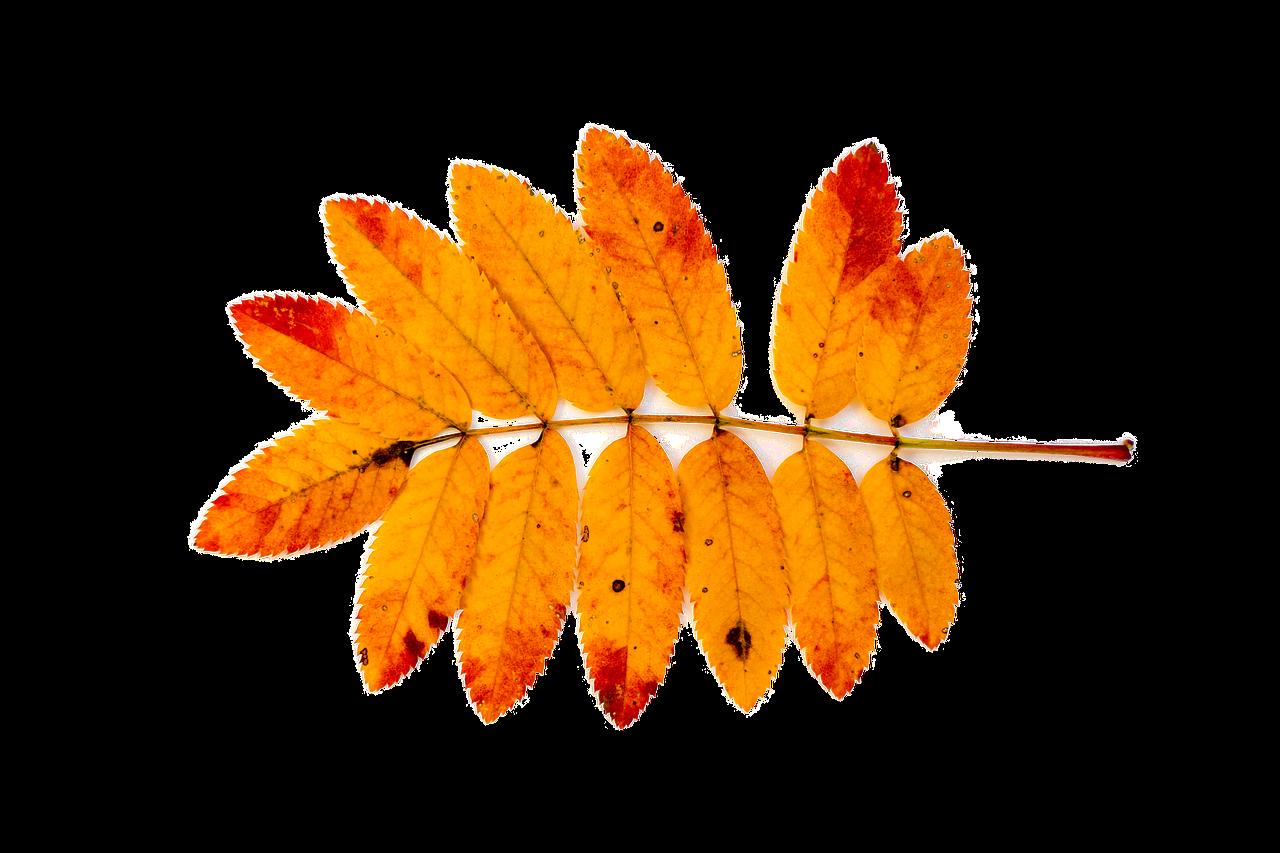 листья рябины в картинках неправильно