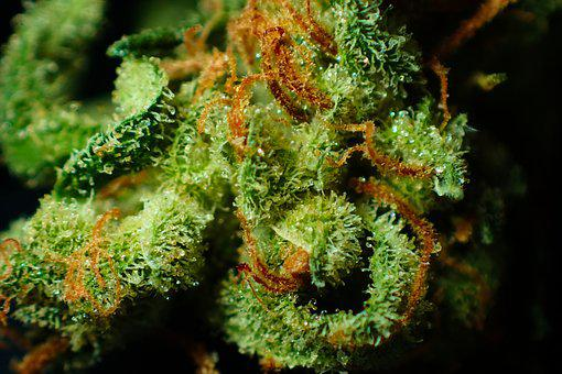 Bud, Cannabis, Close Up, Dope, Drug