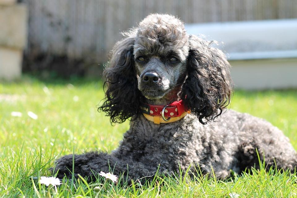 Dog Poodle Miniature - Free photo on Pixabay