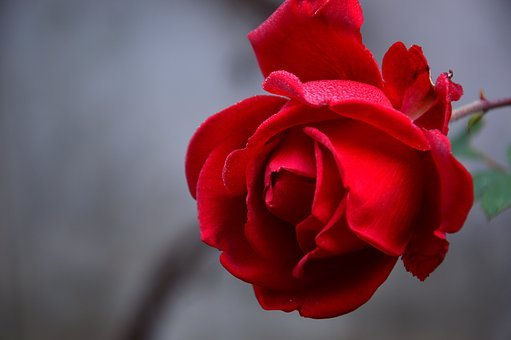 Red Rose Images Pixabay Download Free Pictures
