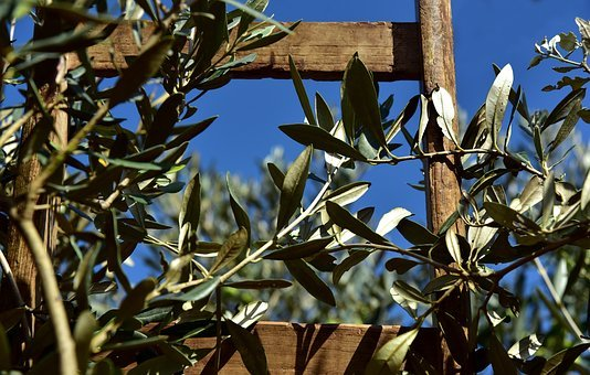 Wooden Ladder, Rung, Olive Tree