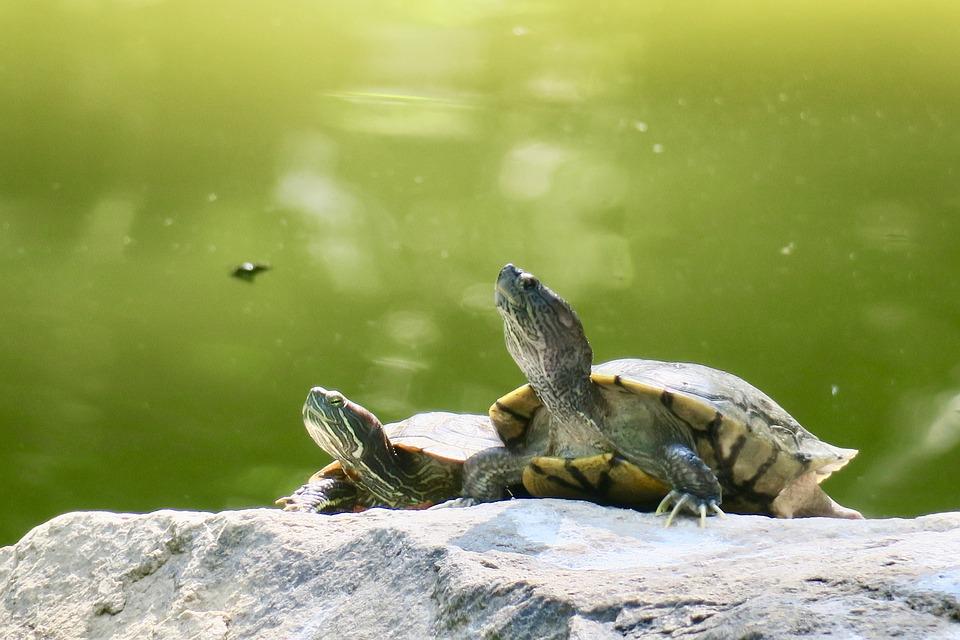 Turtles on rock | Beanstalk Mums