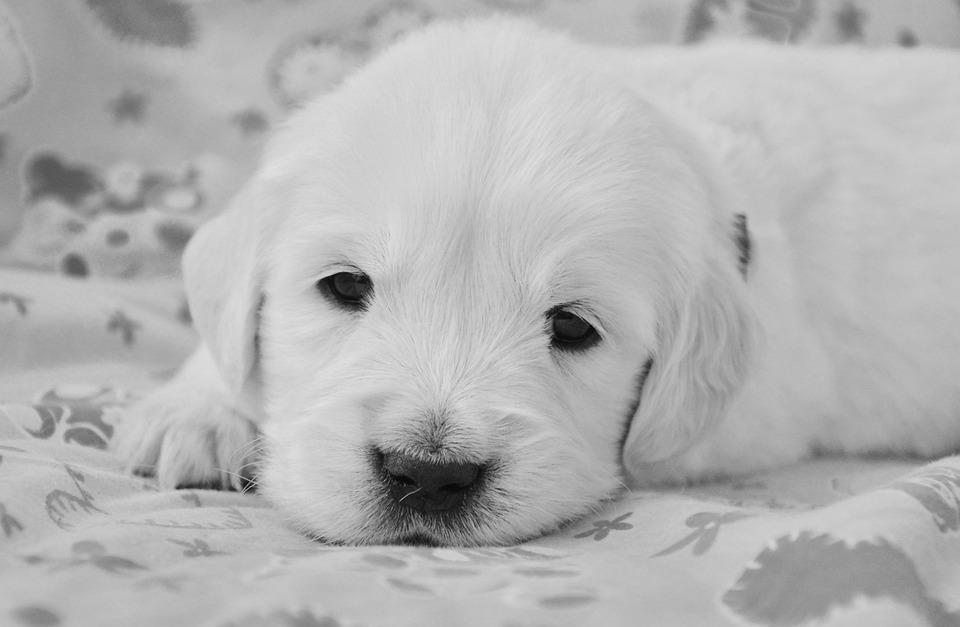 Köpek Golden Retriever Yavrusu Pixabayde ücretsiz Fotoğraf