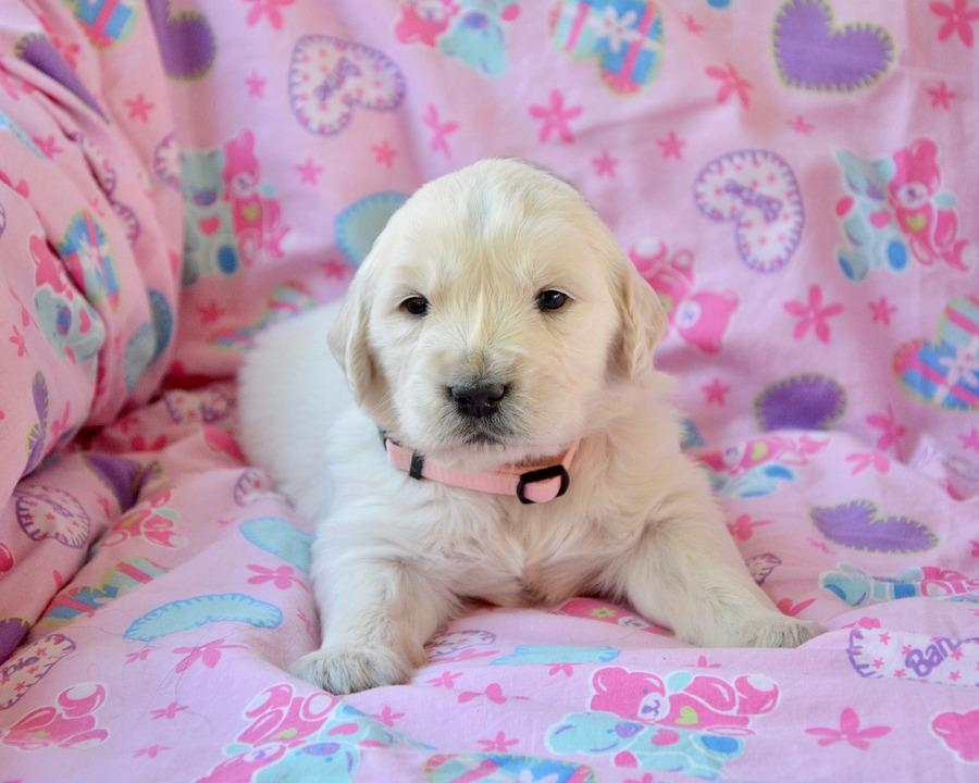Golden Retriever Puppy Pup Bitch Free Photo On Pixabay