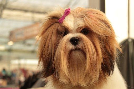 Dogshow, Lhasa Apso, Dog