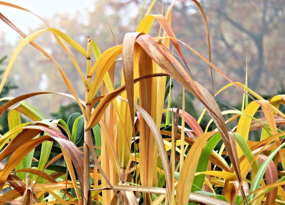 Herbst Graser Bambus Kostenloses Foto Auf Pixabay