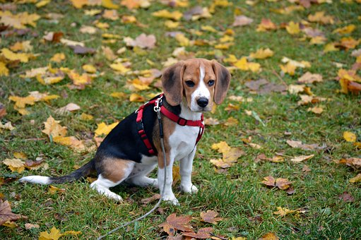 Beagle, Dog, Animal, Pet, Portrait, Cute